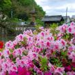 今、鮮やかに咲くサツキがたまらん!美しい!