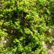 アプテニア・コルディフォリア  Aptenia cordifolia