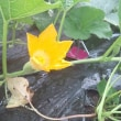 Kオジサンの家庭菜園日記  ソーメンカボチャの花