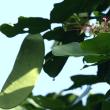 石垣島のタシロマメ