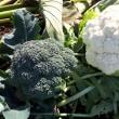 11月17日の収穫野菜