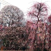 梅まつり対戦 亀戸天神社 vs.小村井香取神社