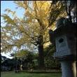 生目神社の大イチョウ
