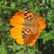 蝶 と 黄花コスモス
