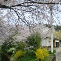 桜・・桜・・