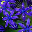 『シラー・ペルビアナ』という花を知ってますか