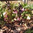 庭のクリスマスローズが、ほぼ満開です・・・(3月12日) ☆バラの剪定・誘引もがんばってます・・・が・・・