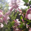 ハナカイドウ、開花まっさかり