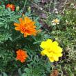 今朝の花たち