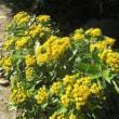 近所の秋の花 ヒイラギ、イソギク