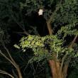 ポエム184 『ムササビ深夜のラージヒル』