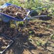 里芋の収穫完了