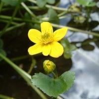 陽は熟(う)みて水面死す河骨の花  等