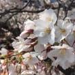桜咲く、まだ6分咲き。綺麗。