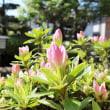 サツキツツジが咲き始めました