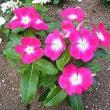 季節の花「日日草(にちにちそう)」