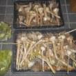 今日の収穫 ニンニク グリーンピース ソラマメ リーフレタス