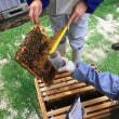 粉砂糖処理によるミツバチヘギイタダニ駆除を試みました
