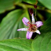 ホトトギスの花
