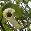 県立フラワーセンター大船植物園の「はんかちの木」が