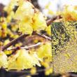 花彩々   蝋梅が咲く