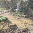 ◎種まきのムラサキハナナ&冬越えの草花