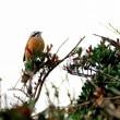 11/20探鳥記録写真-2(狩尾岬の鳥たち:ジョウビタキ、イソヒヨドリ、エナガ、シジュウカラ、マガモの渡り模様ほか)