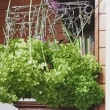 庭の紫陽花アナベルをカットして