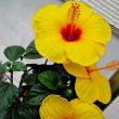 ハイビスカスという花