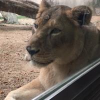 ライオンですのよ