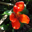平地でもナギナタコウジュが咲きだした