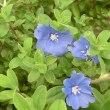 アメリカンブルーの花は