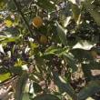 レモンの収穫…♪