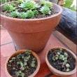 多肉植物植え替え(1)増えた七福神とセンペルビウム
