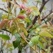 バラの芽に雨