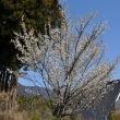 美山の桜の開花情報その1