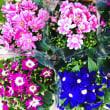 化粧品お買い上げの方に 春の花プレゼント!