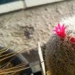 サボテン 開花