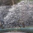 早春の東御苑 梅林坂は花盛り