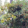 金木犀香る間もない秋の長雨