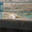 フェンス上のアオジ*フェンス下の猫
