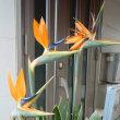 高級な極楽鳥のお花が咲きました
