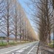 マキノ町メタセコイヤ並木
