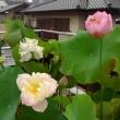JR新検見川駅のハス鉢のご報告