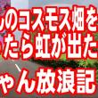 じぃちゃんのコスモス畑と虹
