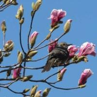 モクレンの花を食べるヒヨドリです