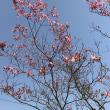 4月の庭(ハナミズキなど)