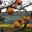 柿の木の思い出