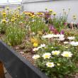 けやき病棟で花を植え始めました!