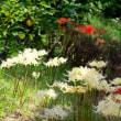 白い曼珠沙華が一気に開花していました